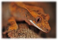 caring for crested gecko