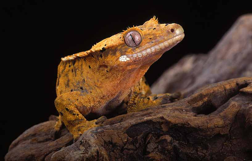 how to clean crested gecko tank