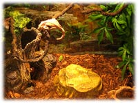 crested gecko natural habitat
