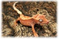crested gecko supplies