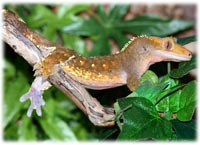 crestie morphs and colors