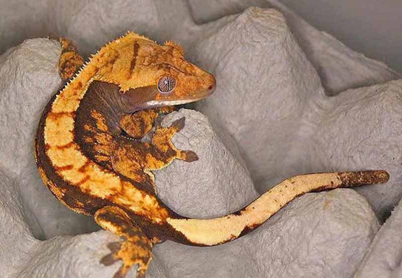 About The Crested Gecko Crested Gecko Care