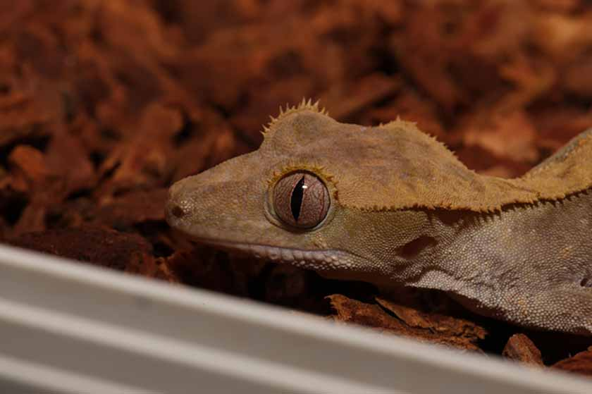 Crested Gecko Facts Crested Gecko Care