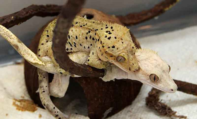 The Crested Gecko Bite | Crested Gecko Care