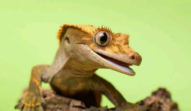 Crested Gecko Water Crested Gecko Care