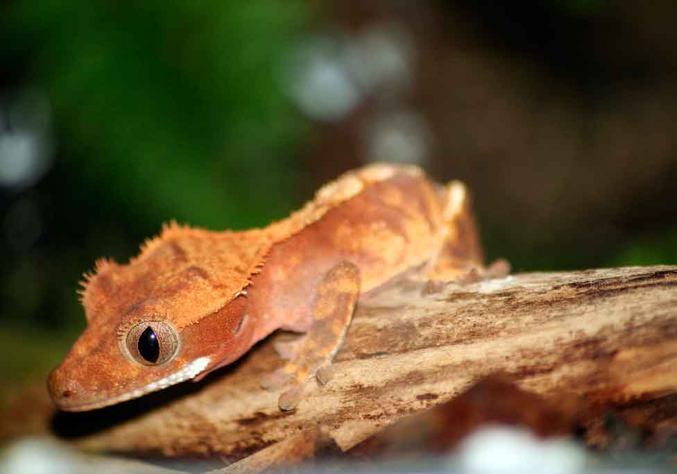 What to Look for in a Crested Gecko for Sale?   Crested